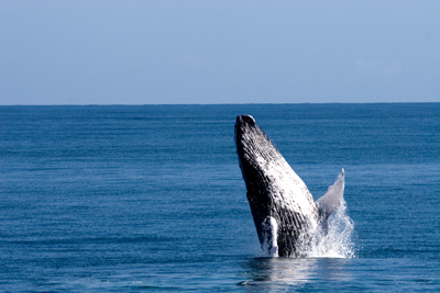 Whale Watching in Samana, Dom Rep